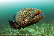 A Goliath Grouper, Epinephelus itajara, swims over a coral reef offshore Juno Beach, Florida, United States.