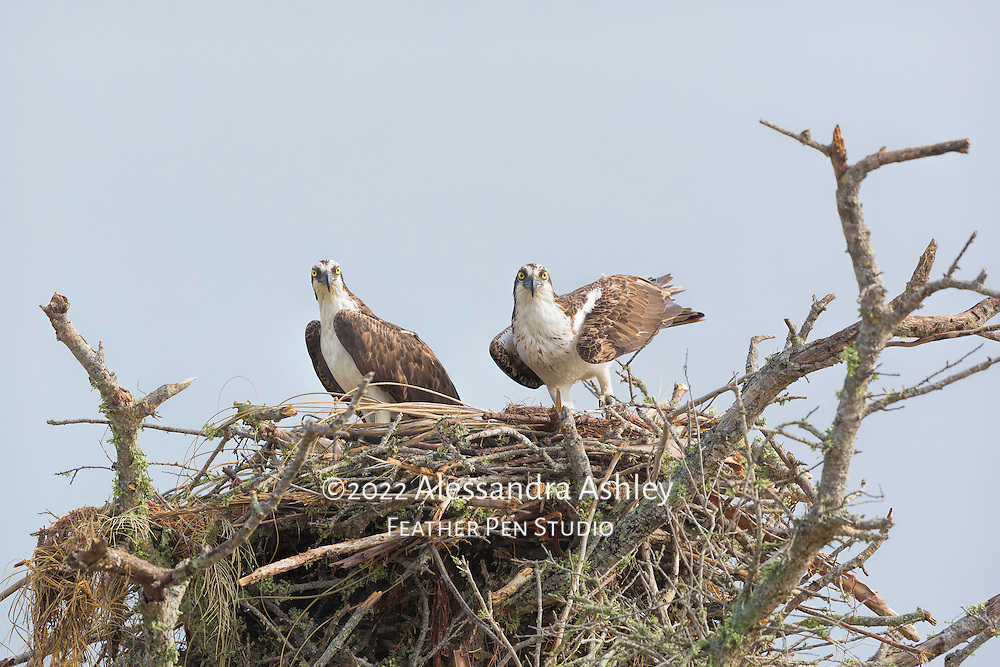 Pair of osprey in treetop nest, with male bird preparing for takeoff.