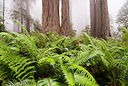 Green ferns cover the ground between the towering redwoods in Redwood National Forest.