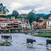 Cattle cross the Bagmati River near Pashupatinath Temple in Kathmandu, Nepal, 1996.