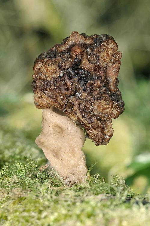 false morel<br /> Gyromitra esculenta