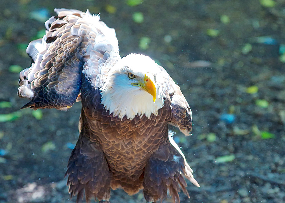 Bald Eagle Gets Ready To Take Off Under Bright Noon Sunlight
