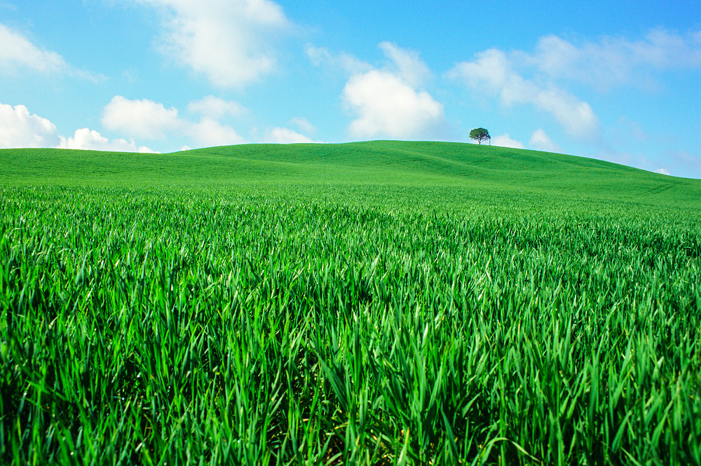 A Spring wheat field outside Siena, Italy (Tuscany).