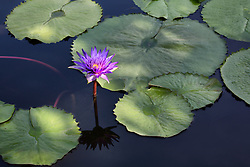 Water Lily, Purple #23
