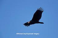 00780-00616 Turkey Vulture (Cathartes aura) in flight Marion Co.   IL