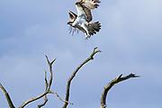 Osprey (Pandion haliaetus) on the shores of Poole Harbour. Arne, Dorset, UK.