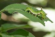 White admiral (Limenitis camilla) larva on honeysuckle (Lonicera periclymenum). Sussex, UK.