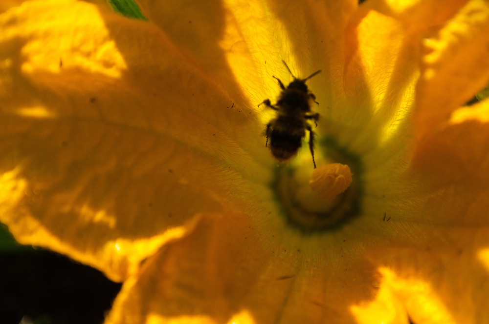 A bumble bee leaving a squash flower on Ben Nevis Farm, Shaw Island, Washington