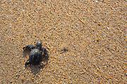 Releasing Green Sea Turtle, Hotelito Desconocido Sanctuary Reserve & Spa, Costalegre, Jalisco, Mexico