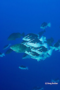 Nassau groupers, Epinephelus striatus ( Endangered Species ), at spawning aggregation; as sunset approaches, frantic males, in bicolor phase, pursue female, in normal dark color phase, Lighthouse Reef Atoll, Belize, Central America ( Caribbean Sea ) ( #3 in series of 6 )