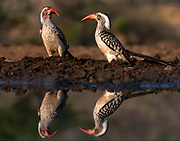 Southern red-billed hornbills (Tockus rufirostris) from Zimanga, South Africa.