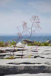 Wall Lettuce, Mycelis muralis growing amongst cracks in limestone rocks at the Burren, Ireland.