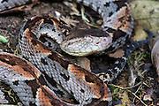 Brazil's Lancehead (Bothrops brazili)<br /> ECUADOR<br /> Vivarium ID # 3333<br /> Captive