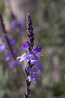 Slender Vervain (Verbena halei) at Big Bend Ranch State Park, Texas
