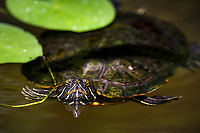 Red-eared slider, Trachemys scripta elegans, ontroduced species, Sai Kung, Hong Kong, China. Inhabits quiet water of ponds, swamps and reservoirs. Usually seen basking on the bank. Since its establishment in about 1980, the native Reeves' Terrapin, Mauremys reevesii, greatly declined. Today the most common turtle in Hong Kong.<br /> This Image is a part of the mission Wild Sea Hong Kong (Wild Wonders of China).