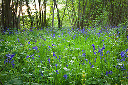 Bluebells in a wood near Sissinghurst with stitchwort, wild garlic and archangel. Hyacinthoides non-scripta