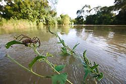 Wolf spider carrying offspring on back clinging to vegetation above raging flood, Trinity River Audubon Center, Dallas, Texas, USA.