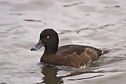 Photos taken at lake Myvatn in Iceland. It is a medium-sized diving duck with a population of close to one million birds worldwide.