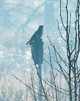 Northern Harrier (Circus hudsonius). Image taken with a Nikon N1V3 camera and 70-300 mm VR lens.