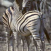 Burchell's Zebra, (Equus burchelli) Pair resting together with heads on each other. Kruger National Park. South Africa.