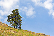 Ponderosa Pine (Pinus ponderosa) on a hillside in Vernon, British Columbia, Canada.