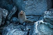Galapagos Fur Seal (Arctocephalus galapagoensis) Cabo Douglas<br /> Tower Island<br /> Galapagos<br /> Ecuador, South America <br /> ENDEMIC TO GALAPAGOS.