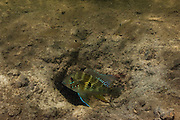 Thread-finned Cichlid (Acarichthys heckelii) Protecting young in nest hole<br /> Permanent Freshwater Pond<br /> Karanambu<br /> Rupununi<br /> GUYANA<br /> South America