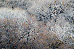 Winter trees at Gallina Spring and Palomas Creek, Ladder Ranch, west of Truth or Consequences, New Mexico, USA.