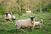 Sheep with young lambs, Oxfordshire, Cotswolds, England