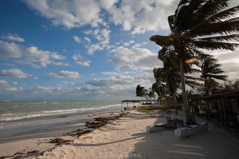 Wind-battered palm trees on Cayo Levisa, Cuba