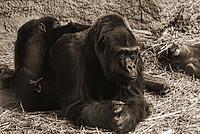 Contemplation / Woodland Park Zoo, Seattle