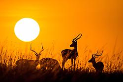 Impala Bˆcke bei Sonnenaufgang im Masai Mara Naturschutzgebiet / 160815 ***