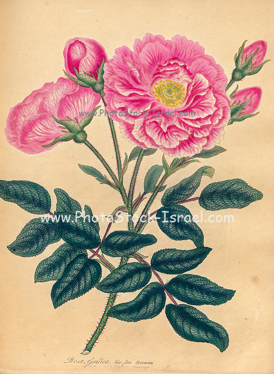 ROSA Gallica; Var. flore marmoreo, French Rose; marbled-flowered Variety From the book Roses, or, A monograph of the genus Rosa : containing coloured figures of all the known species and beautiful varieties, drawn, engraved, described, and coloured, from living plants. by Andrews, Henry Charles, Published in London : printed by R. Taylor and Co. ; 1805.