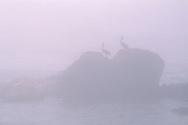 Pair of Pelican birds sitting on coastal rocks in fog near San Simeon, California