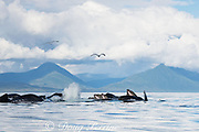 humpback whales, Megaptera novaeangliae, bubble net feeding on herring, with sea gulls looking to snatch fish; baleen (used to strain fish from water) can be seen hanging from upper jaws of whales at right; Kupreanof Island, Frederick Sound, Inside Passage, southeastern Alaska, USA