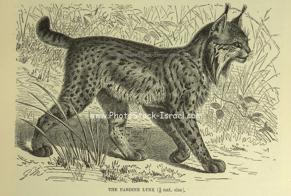 Pardine Lynx (Felis pardina) Short-tailed wildcats with usually tufted ears; valued for their fur From the book ' Royal Natural History ' Volume 1 Edited by  Richard Lydekker, Published in London by Frederick Warne & Co in 1893-1894
