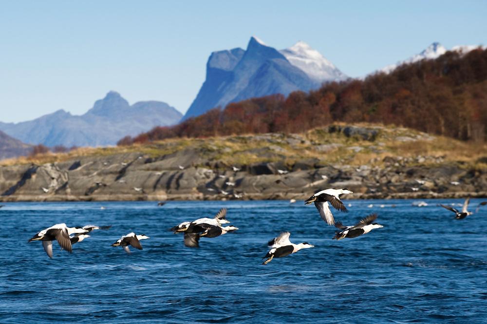 Common eider, Somateria mollissima.Atlantic marine life, Saltstraumen, Bodö, Norway