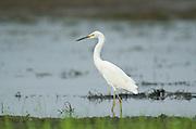 Snowy Egret, Egretta t.thula, Panama, Central America, Gamboa Reserve, Parque Nacional Soberania, wading in water at edge of lake