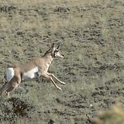Pronghorn Antelope Lone young buck running across Wyoming prairie.