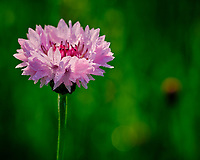 Bachelor Button (Cornflower). Image taken with a Fuji X-T3 camera and 80 mm f/2.8 OIS macro lens