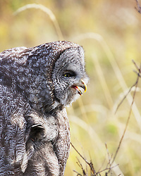 Funny faced Great Grey Owl