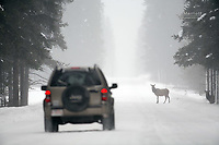 Tourists encountering cow elk as they drive their SUV down the Bow Valley Parkway in Banff National Park in winter weather.