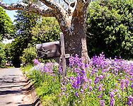 Green Hill Sycamore