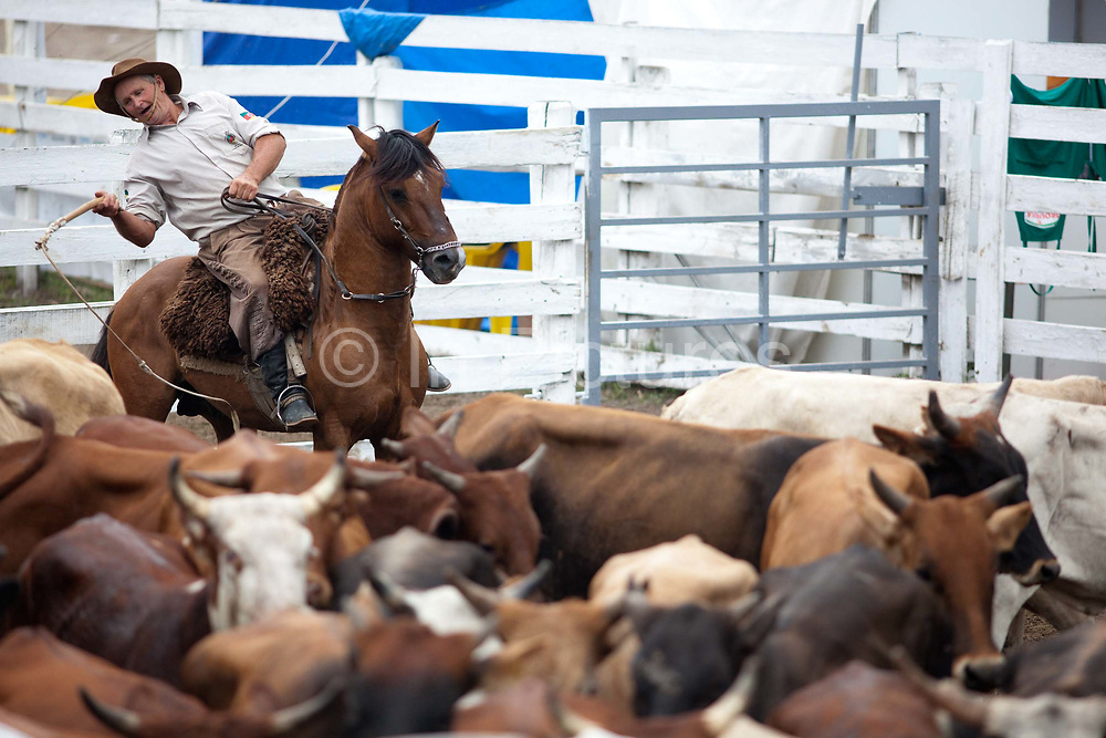 Brazilian gaucho cowboy riding a horse, releaseing cattle, lasooing and yeehaing, in the cattle run. Gaucho cowboy Rodeo, Flores de Cunha, Rio Grande do Sul.