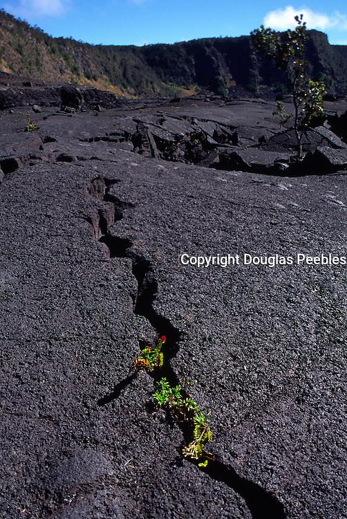 Ohia plant growing in lava crack, HVNP, Kilauea Volcano, Island of Hawaii<br />