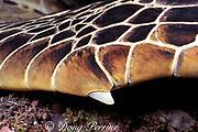 front flipper claw of green sea turtle, <br /> Chelonia mydas, Sipadan Island, <br /> off Borneo, Sabah, Malaysia ( Celebes Sea )