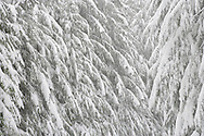 Conifer branches droop under the weight of accumulating snow during a snowstorm along the Rainier Vista Trail of the Mount Tahoma Trails cross country ski and snowshoe hut-to-hut trail system in the Washington state Cascade Range near Mount Rainier.