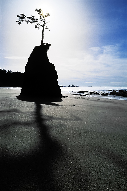 Sea stack with spruce tree, afternoon light, Third Beach. Olympic National Park, Washington, USA