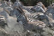 Zebras drinking from stream, Serengeti National Park, Tanzania. Panicked by predator.