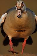 Egyptian goose (Alopochen aegyptiacus), Zimanga Private Nature Reserve, KwaZulu Natal, South Africa